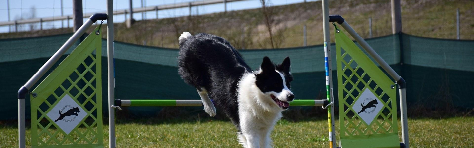 Pies przeskakujący przez tyczkę
