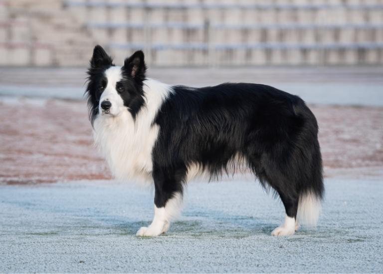 Stojący pies