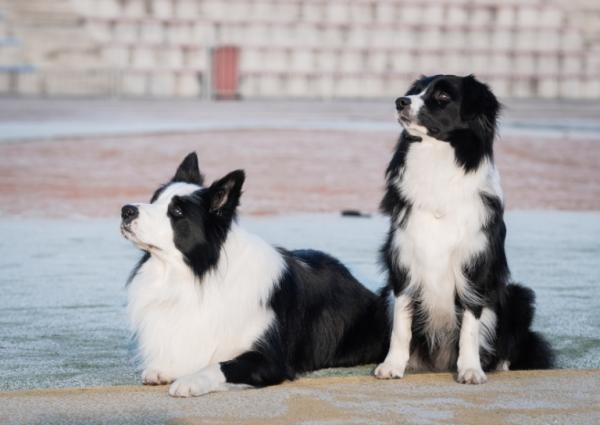 Dwa psy 1