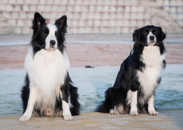 Dwa psy 2