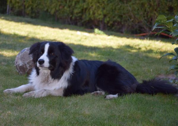 Leżący pies 2